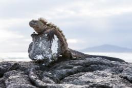 Marine Iguana on Isabela, Galapagos Archipelago, Ecuador - #6073 - © Thomas Effinger