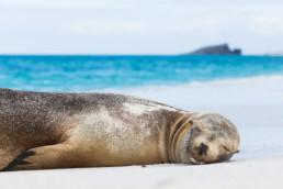 Schlafende Robbe am Strand von Espagnola, Galapagos Archipel, Ecuador - #8073 - © Thomas Effinger