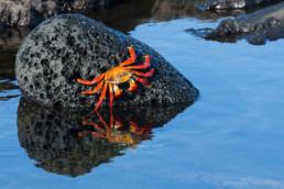 Red crab, Floreana, Galapagos Archipelago, Ecuador - #0283 - © Thomas Effinger