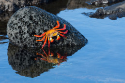 Rote Krabbe auf Floreana, GalapagosArchipel, Ecuador - #0283 - © Thomas Effinger