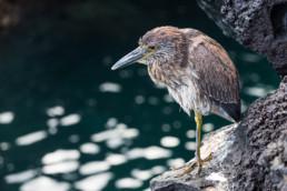 Galapagos Heron, Santiago, Galapagos Archipelago, Ecuador - #0473 - © Thomas Effinger