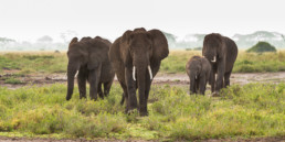 Elefantengruppe auf der Wanderschaft, Amboseli Nationalpark, Kenia, Afrika - #9859 - © Thomas Effinger