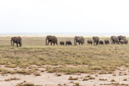 Group of walking elephants, Amboseli National Park, Kenia, Africa - #9986 - © Thomas Effinger