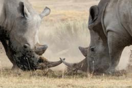 Rhinos, Nakuru National Park, Kenia, Africa - #4845 - © Thomas Effinger