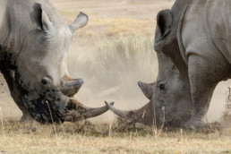 Nashörner, Nakuru Nationalpark, Kenia, Afrika - #4845 - © Thomas Effinger