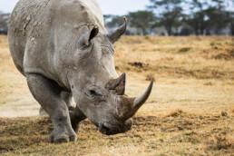 Rhino, Nakuru National Park, Kenia, Africa - #4896 - © Thomas Effinger