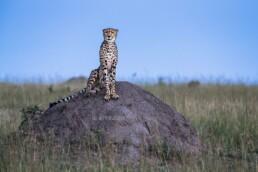 Gepard im Abendlicht, Masai Mara, Kenia, Afrika - #0832 - © Thomas Effinger