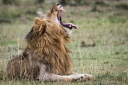 Männlicher Löwe, Masai Mara, Kenia, Afrika - #6682 - © Thomas Effinger