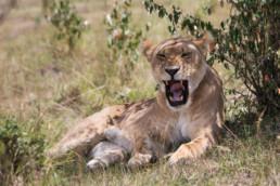 Löwin bei der Mittagsruhe im Schatten, Masai Mara, Kenia, Afrika - #1511 - © Thomas Effinger