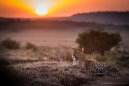 Leopard at sunset, Masai Mara, Kenia, Africa - #8236 - © Thomas Effinger