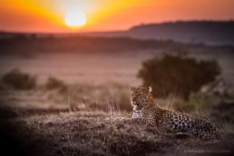 Leopard bei Sonnenuntergang, Masai Mara, Kenia, Afrika - #8236 - © Thomas Effinger