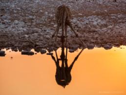 Trinkende Giraffe im Etosha Nationalpark, Namibia, Afrika - #8269 - © Thomas Effinger
