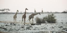 Giraffen im Etosha Nationalpark, Namibia, Afrika - #8833 - © Thomas Effinger