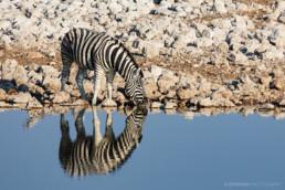 Zebra im Etosha Nationalpark, Namibia, Afrika - #8722 - © Thomas Effinger