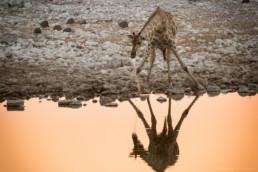 Drinkende Giraffe an einem Wasserloch, Etosha Nationalpark, Namibia - #8790 - © Thomas Effinger